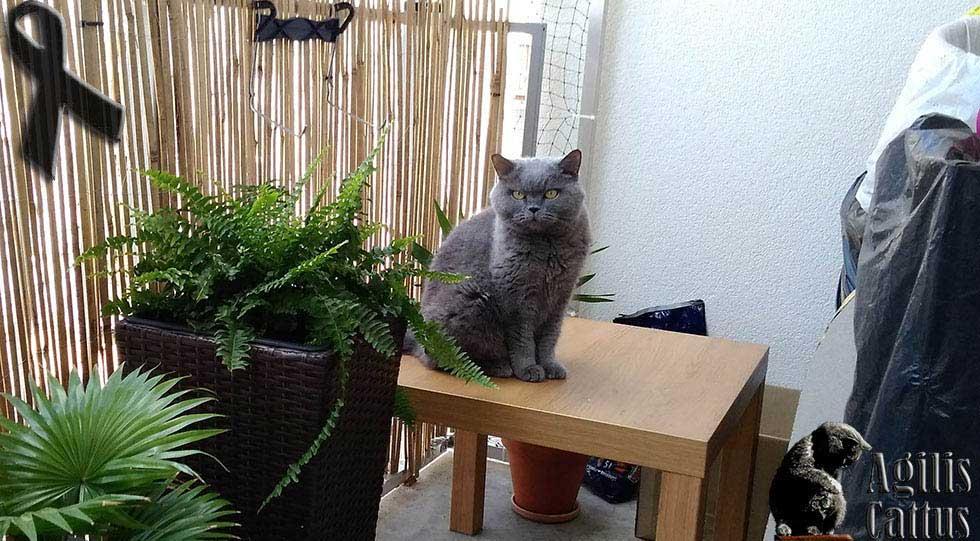 Koty Brytyjskie Krótkowłose Hodowla Agilis Cattuspl Od 2005 Roku