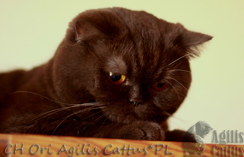 Kotka Brytyjska Czekoladowa Ori Agilis Cattuspl